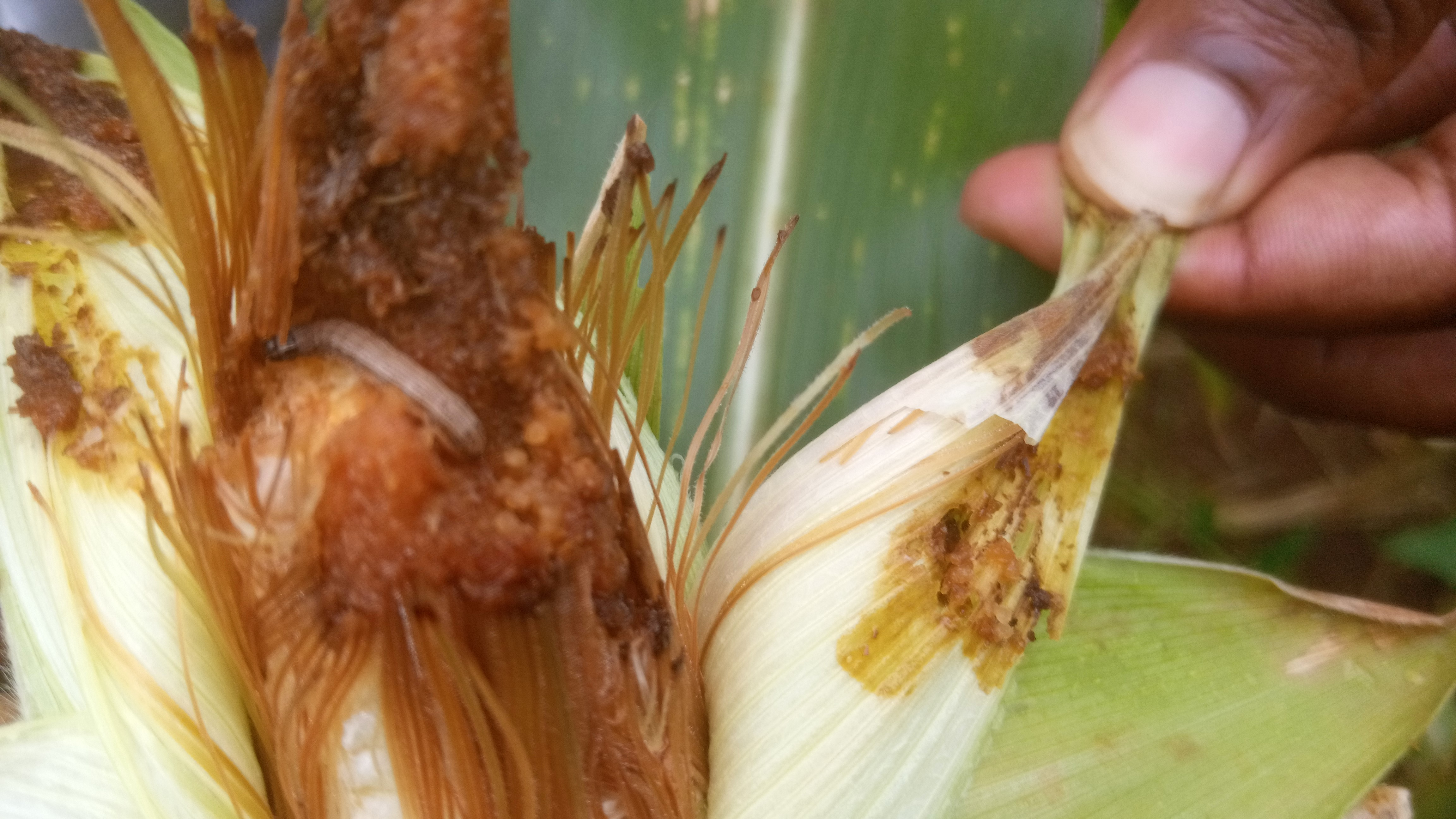 Maize is an important staple crop in Zambia yet highly targeted by fall armworm. Photo: World Agroforestry/ Lydia Amanzi
