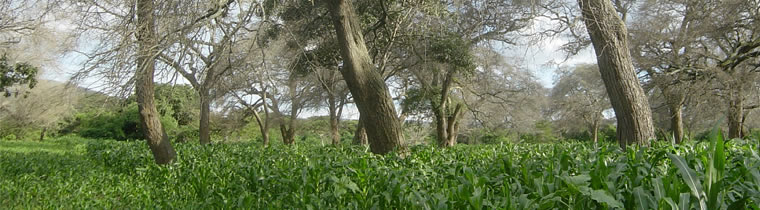 F. albida and maize in Tanzania
